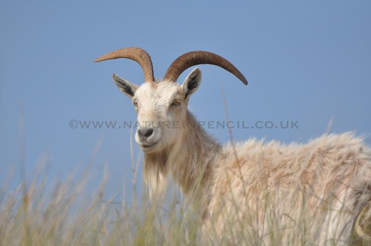 'Feral Goat'