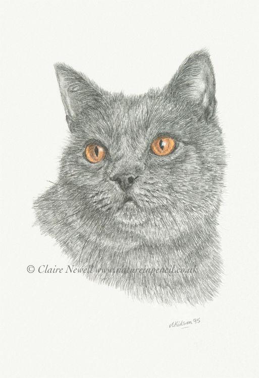 'British Blue Cat'
