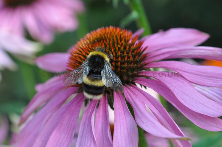 'Bumble Bee on Echinacea Flower'