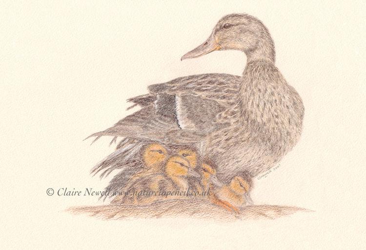 'Female Mallard & Ducklings'