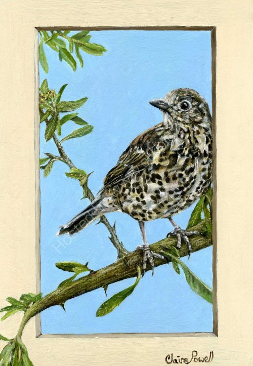 Mistle Thrush in Oil Pastel