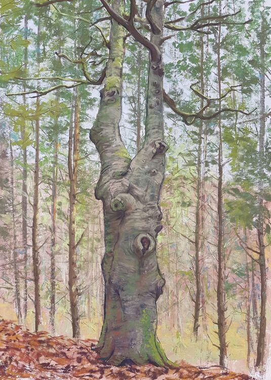 A Beech amongst Pines