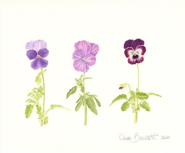 Violas Beconsfield, Lavender Vein, Phantom