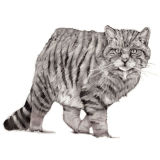 Scottish Wildcat (A3) (private collection: Stroud, England)
