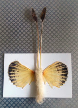 Butterfly named after Elaine Morgan