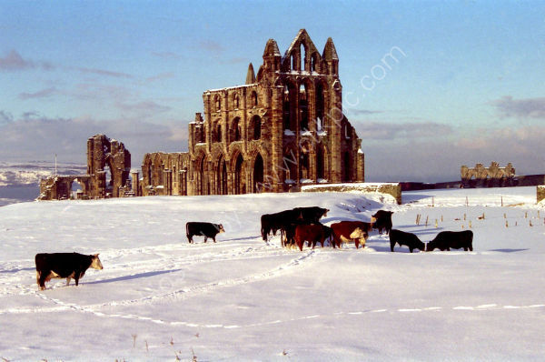 Cold Cows, Whitby Abbey