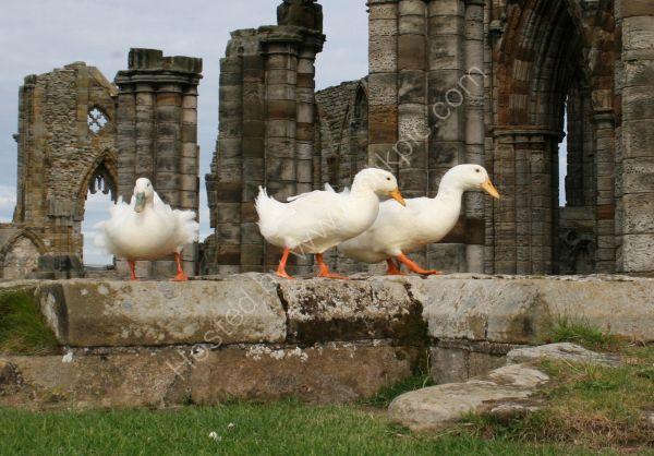 Gothic Ducks