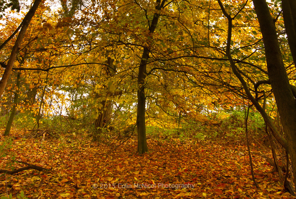 A beech shows off its Autumn colours.