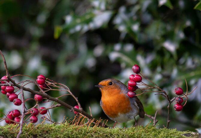Robin6