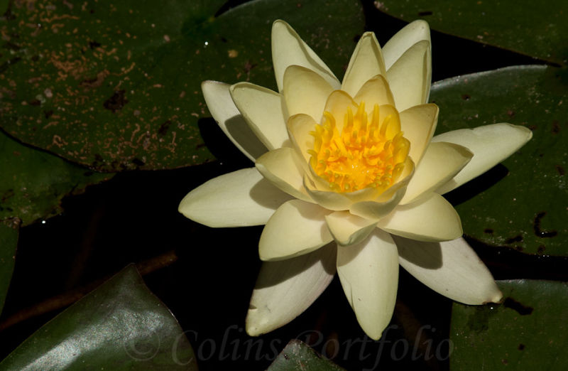 Water Lilly in flower