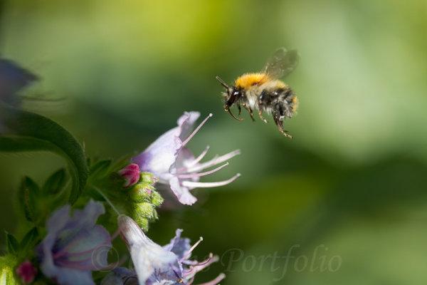 A bumble bee approaching an echium flower head