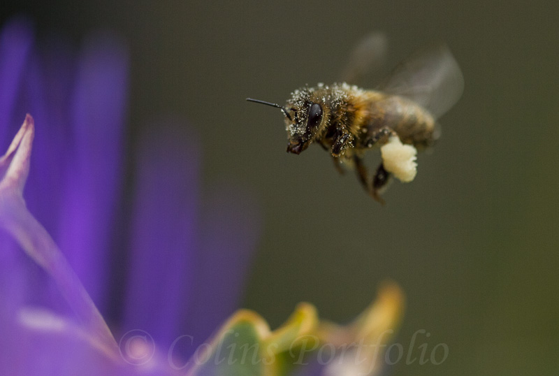 Honey bee, covered with pollen.
