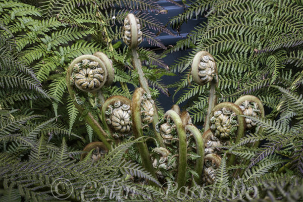 New fronds growing from centre of a Dicksonia Antarctica (Boston Tree Fern)