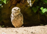 A Burrowing Owl