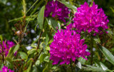 Rhododendrons in full flower