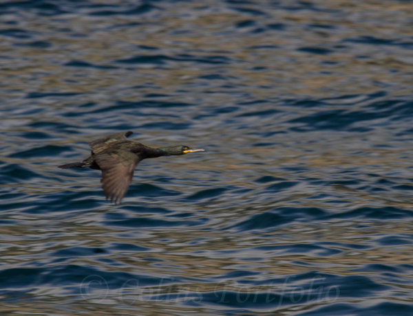 A cormorant skimming above the waves
