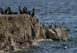 Cormorants and guillemots on the rocks at the base of the cliffs