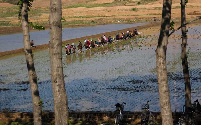 Rice field workers with their transport in the foreground