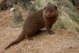 A Dwarf Mongoose