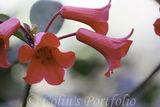 Ericaceae Rhododendron 'Littest Angel'