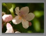 Kolkwitzia Anabilis (aka 'Beauty Bush')