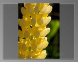 Yellow Lupin