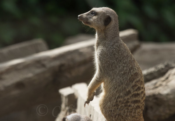A meerkat in traditional pose