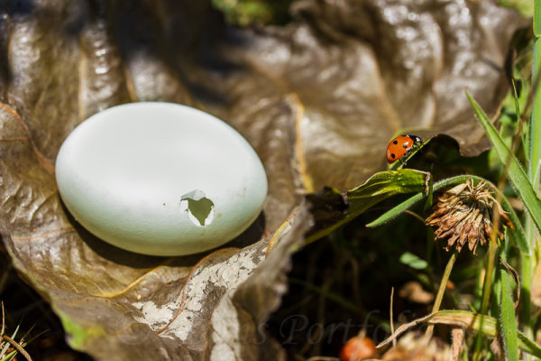 Woodpidgeon egg