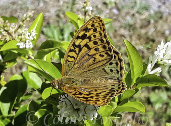A Great Spangled Fritillary butterfly