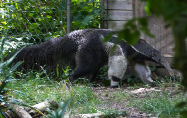 A Great Anteater