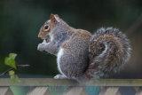 A grey squirre feeding on a garden fence