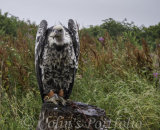 'Radagast', a Rupelles Griffin Vulture