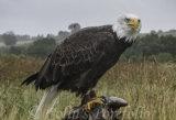 'Alaska', a Bald Eagle, feeding on a trout