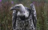 Close up of 'Radagast', Rupelles Griffin Vulture