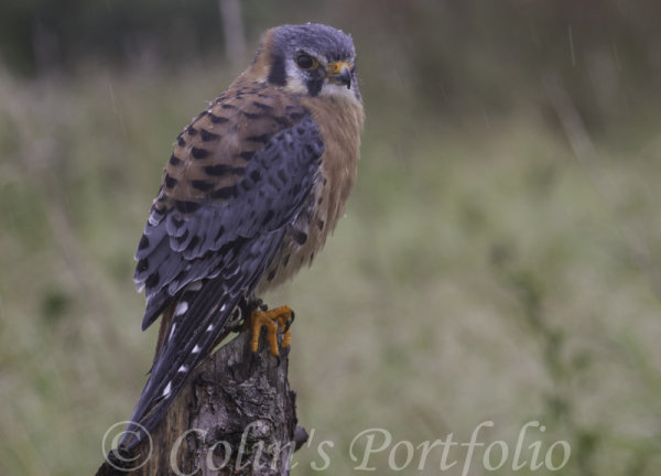 'Orion', a male American kestrel