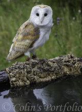 'Ghost', a Barn Owl