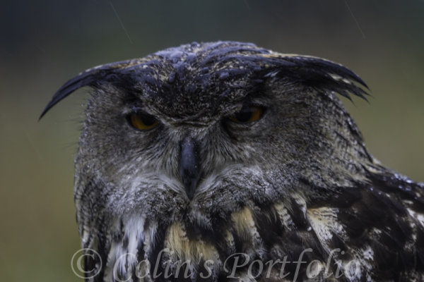'Taz', European Eagle Owl