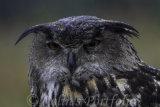 'Taz', European Eagle Owl