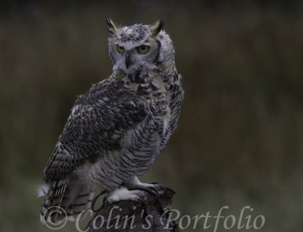 'Grimm', A Great Horned Owl.