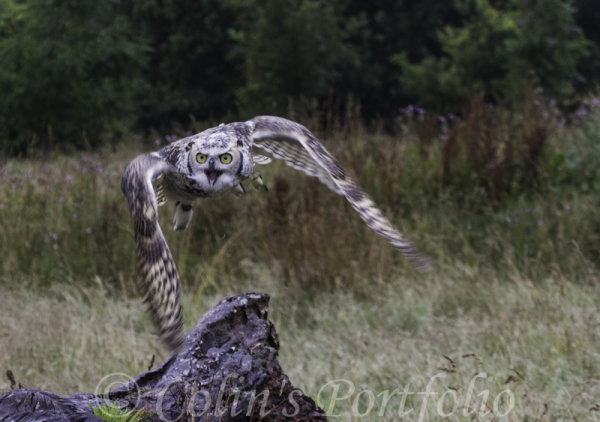 'Grimm', a Great Horned Owl in flight