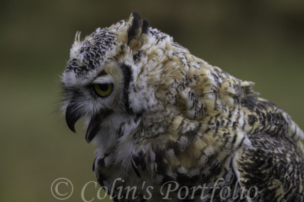 A close up of 'Grimm', a Great Horned Owl