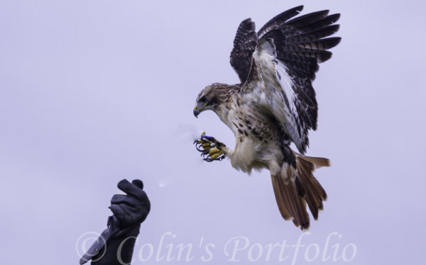 'Rogue', a red tailed buzzard, about to alight
