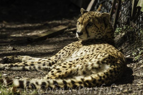 A cheetah resting in the sun