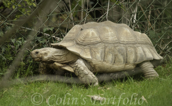 A bumble bee getting a ride on a giant tortoise's back