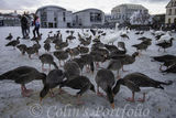 Geese feeding on the frozen Tjornin Lake