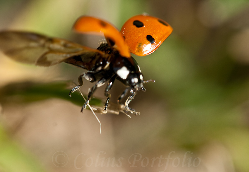 Ladybird, on take off