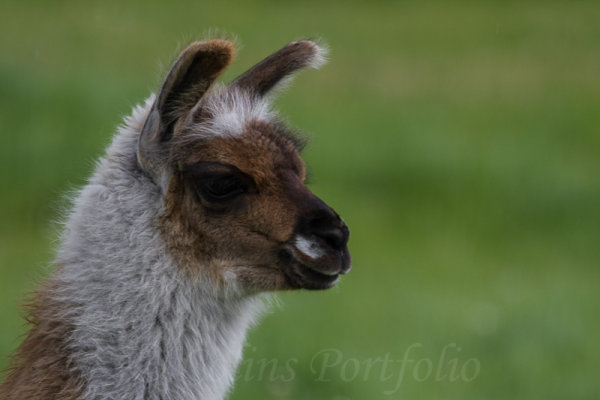 Close up of a young llama