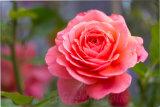 An open rose
