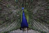 Indian peacock in full display
