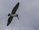 A pelican in flight